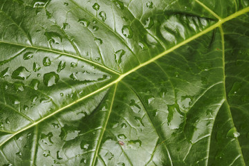 Leaf with Raindrops # 3