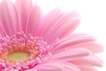Fotobehang Gerbera pink gerbera