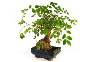 Bonsai. Little green tree