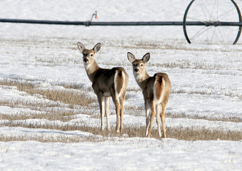 Two deer in a field look back at the camera.