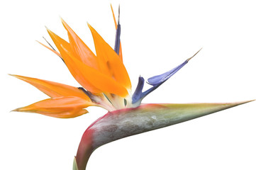 Crane Flower or Bird of Paradise