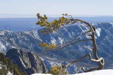 Windblown Pine on Mountain Ridge