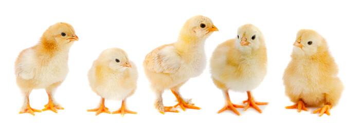 In de dag Kip Adorable chicks