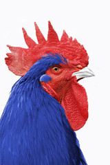 coq france bleu blanc rouge