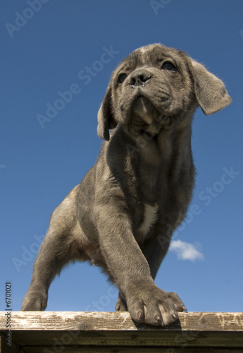 Chiot Cane Corso Stock Photo And Royalty Free Images On Fotoliacom