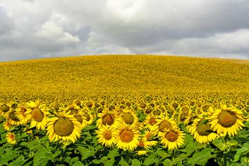 Sonnenblumenfeld in Arcos, Andalusien, Spanien