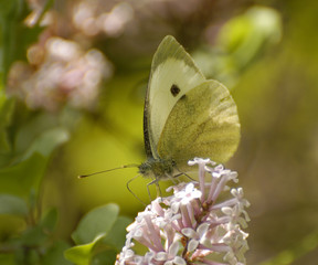 Cabbage White Butterfly (Pieris rapae) in the Provence