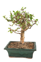 Bonsai Isolated