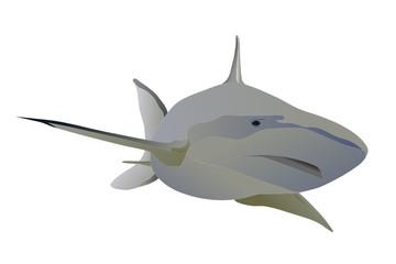 Vector big shark swimming forward