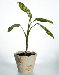 Home plant (Dieffenbachia picta)