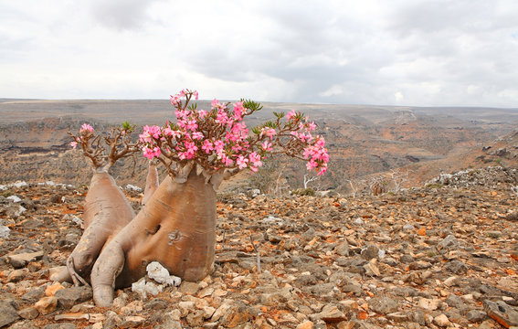 Bottle tree - adenium obesum – endemic tree of Socotra Island