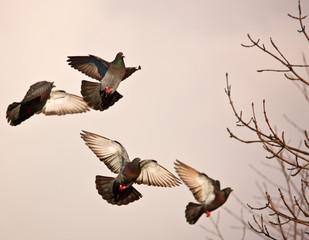 Soaring pigeons