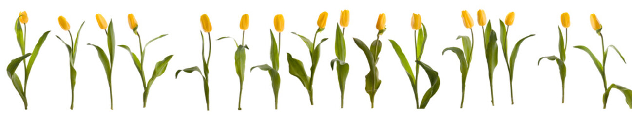 Sixteen yellow tulips
