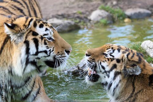 Couple de tigres amoureux photo libre de droits sur la - Images tigres gratuites ...