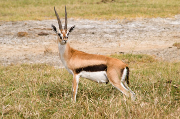 Tompson's gazelle