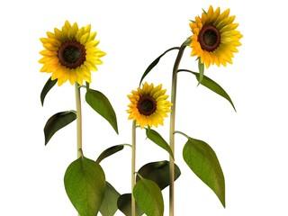 Tournesol Sunflower