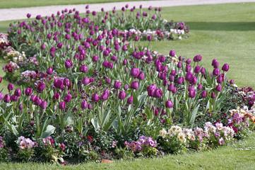 allée de tulipes