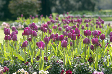 plantations de tulipes