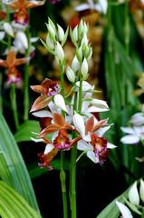 White brown Asian orchid - Cymbidium