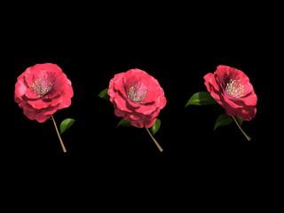 Camélias roses