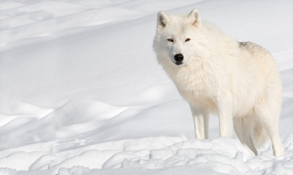 Arctic Wolf in the Snow Looking at the Camera