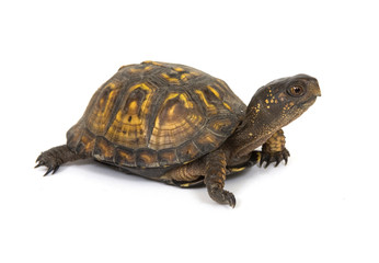 Box turtle on a white background