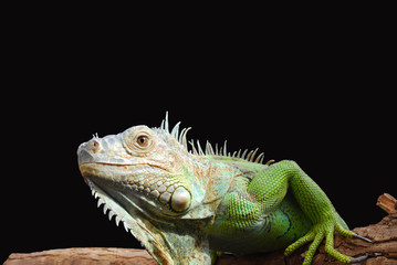 Iguan-the lizard from family of reptiles