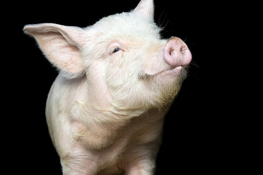 Cute happy baby pig face isolated on black