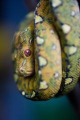 tree python curved up on a tree