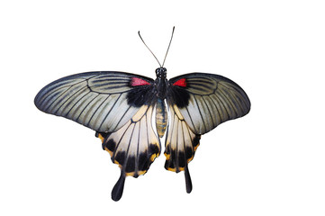 Common Mormon butterfly isolated
