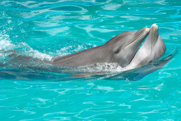 dolphin couple in love