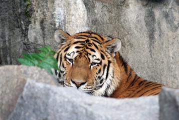 Beautiful tiger portrait