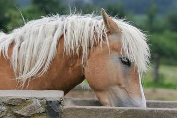 Pferd - Aus dem Trog fressen
