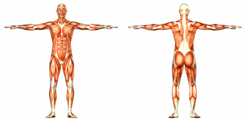 Male Human Body Anatomy - back and front