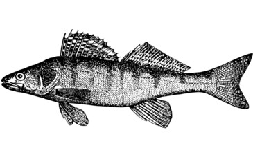 Bersh (Lucioperca volgenis(Latin)). Illustration.
