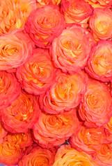 red Rose macro/ background flower