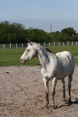 Old Gelding in florida pasture