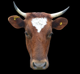 Face View of an Ayrshire Cow