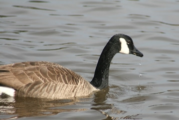 Canadian Goose in a Lake