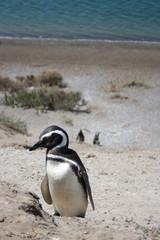 nesting Penguin