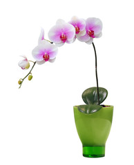 Isolated orchid on a green porcelain pot