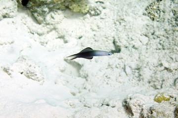 blackfin dartfish (ptereleotris evides)