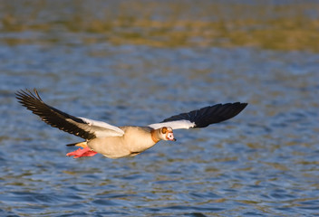 Egyptian goose in flight over water