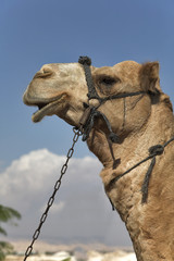 Camel with a bridle