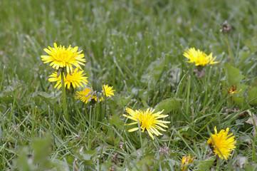 pissenlits sur pelouse