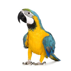 Foto op Plexiglas Papegaai Young Blue-and-yellow Macaw - Ara ararauna (8 months)