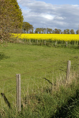 champ d'herbe et colza