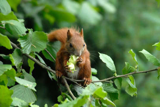 Nagetier Haselnuss Eichhörnchen