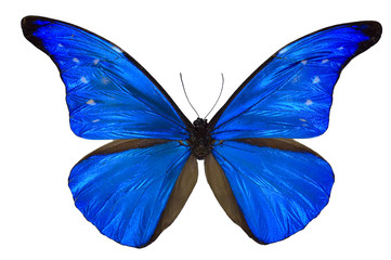 Morpho rhenetor butterfly