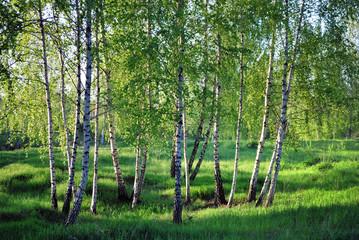 Spoed Foto op Canvas Berkbosje Birchs. North landscape.